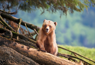 Canada: Grizzlies on their home turf