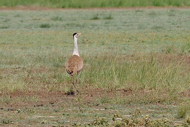 Spotted—The Great Indian Bustard