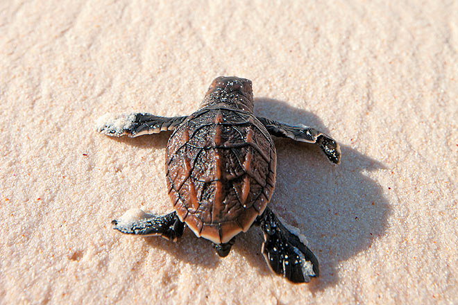 A hawksbill turtle hatchling makes its way to the ocean