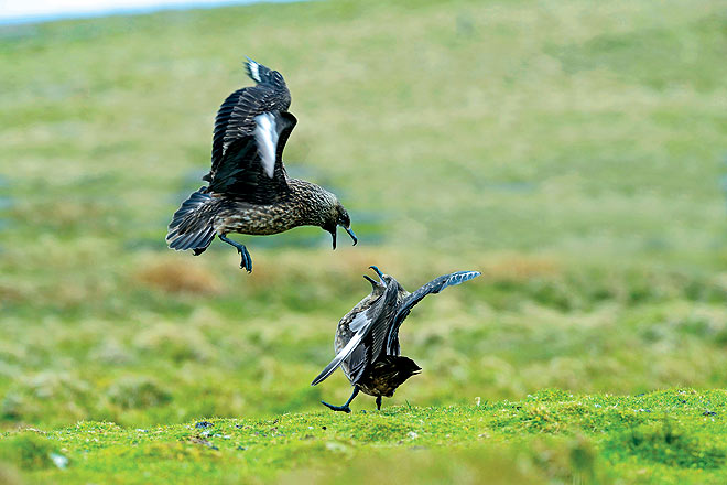 Great Skuas fight it out