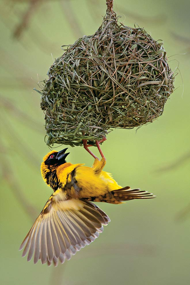 A weaver bird does its thing