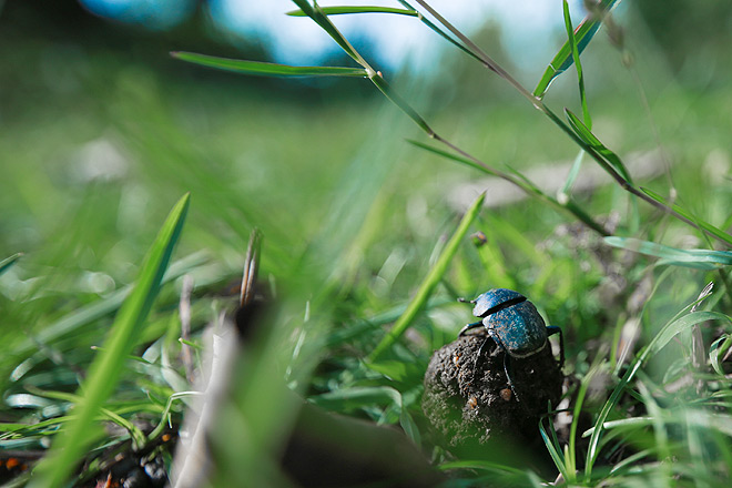 A sligtly disoriented Dung Beetle atop a ball of dung