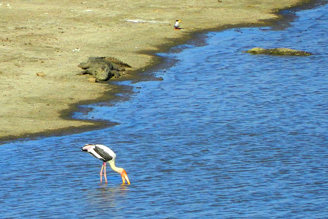 Two crocodiles eyeing a stork at the Kamleshwar Dam on the Hiran river