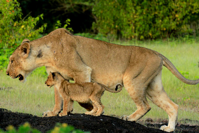 A lioness and her cub at Gir National Park