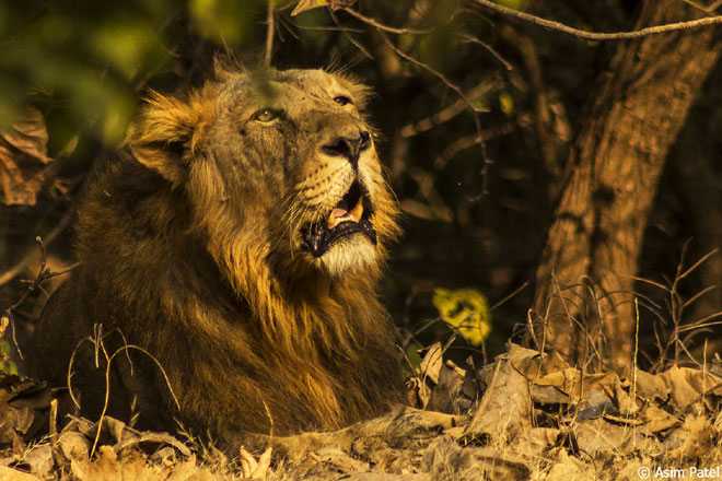 A male Asiatic Lion in his elements at Gir