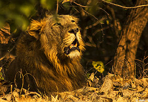 Gujarat: Looking for Lions at Gir National Park