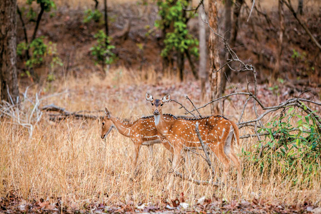 A pair of surprised spotted deer