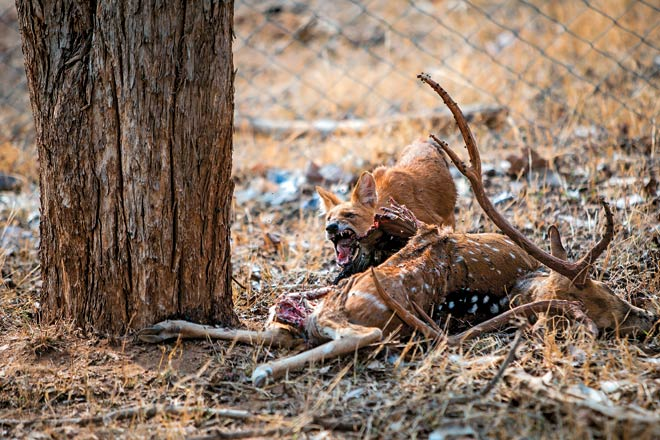 An animated dhole feasts on a decaying chital carcass in Pench