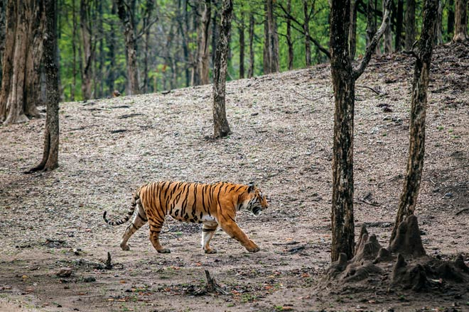 Pench's Rayakassa male tiger leaves us enthralled