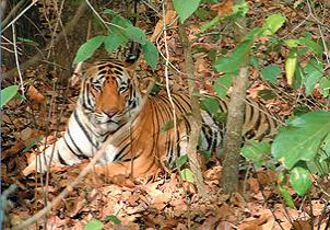Maharashtra: A Quick Guide to Melghat Tiger Reserve