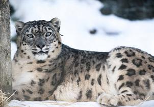 Conservation: Snow Leopard Numbers Are Falling All Over Asia